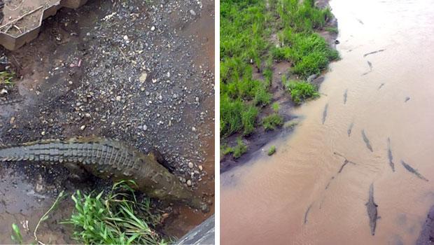 coccodrilli-rio-tarcoles-costa-rica