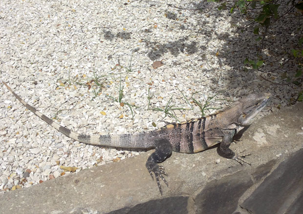 iguana-al-mami-hotel-tamarindo