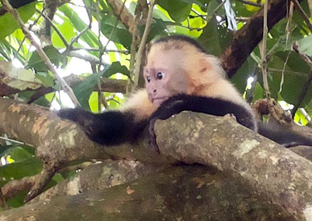 scimmie-parco-nazionale-manuel-antonio