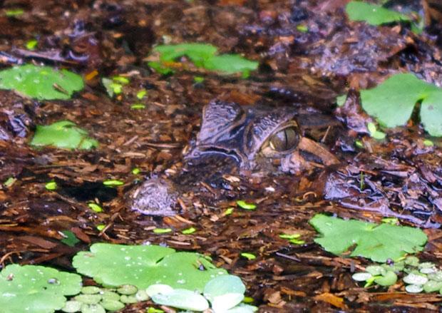tortuguero-costarica-caimano