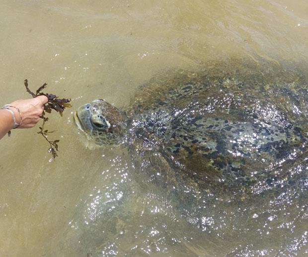 Mare-in-Sri-Lanka-tartaruga-hikkaduwa